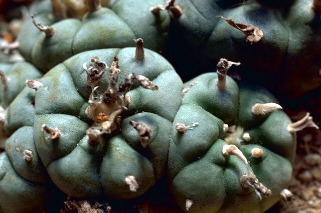 File:Peyote Cactus.jpg
