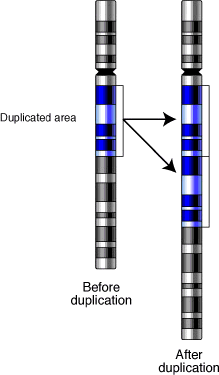 File:Gene-duplication.png
