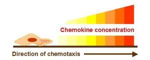 Chemokine concentration chemotaxis