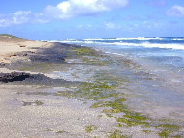 File:Intertidal greenalgae.jpg