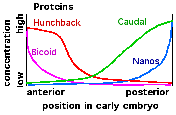 Drosophila early embryo protein gradients