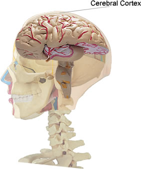 File:Cerebral Cortex location.jpg