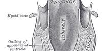 Vertebrate trachea