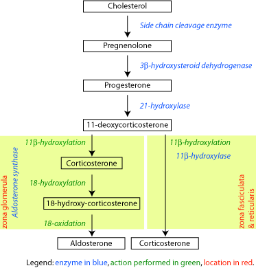 File:Corticosteroid-biosynthetic-pathway-rat.png