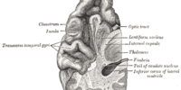 Medial temporal lobe