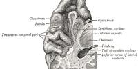 Medial temporal lobe