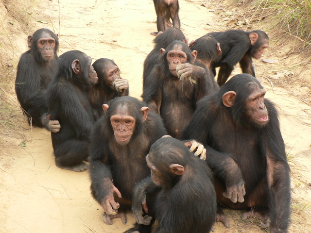 File:Chimps.jpg