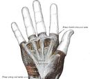 Hand (anatomy)