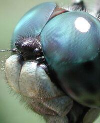Dragonfly eye 3811