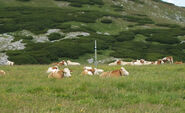Schneeberg - cows-cropped