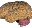 Anterior lobe