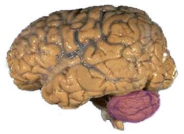 File:Cerebellum NIH.png
