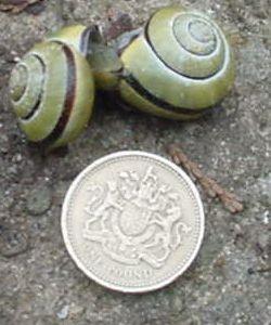 File:Snails mating 2996 05 02.jpg