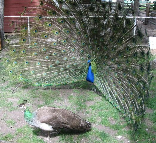 File:Peacock courting peahen.jpg