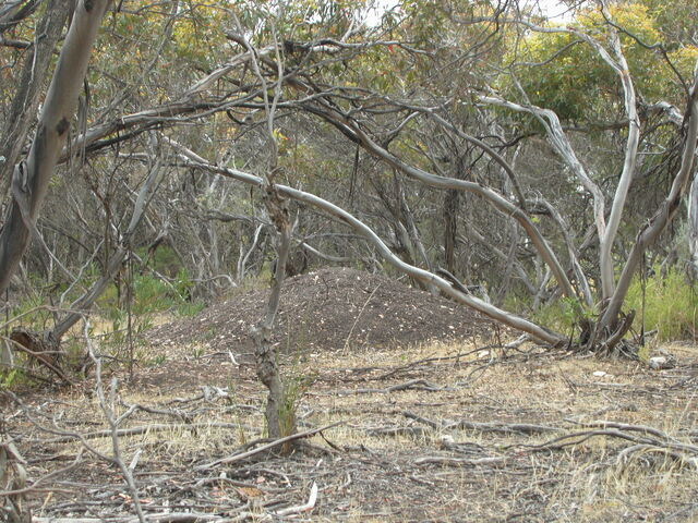 File:Malleefowl mound.jpg