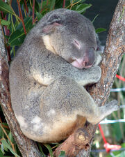 Australia Cairns Koala