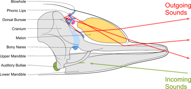 File:Toothed whale sound production.png