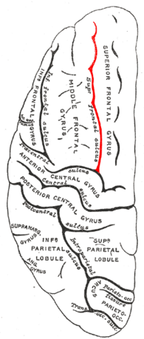 File:Gray725 superior frontal sulcus.png