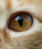 File:Amber cat eye.jpg