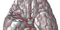 Cerebral circulation