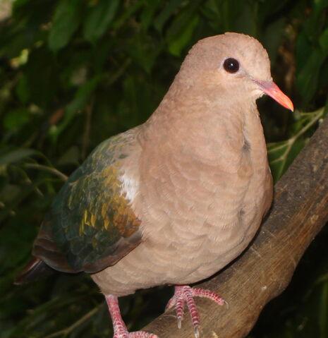 File:Emerald Dove.JPG