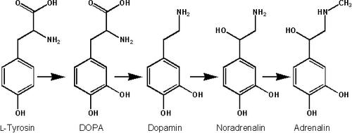 Biosynthese Adrenalin