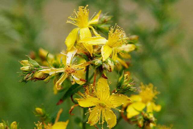 File:Saint johns wart flowers.jpg