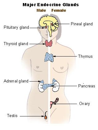 Illu endocrine system