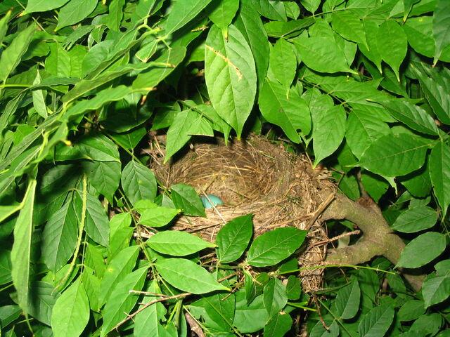 File:American Robin nest.JPG