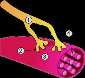 Synapse diag3