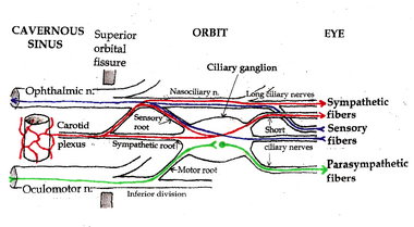 Ciliary ganglion pathways