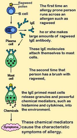 File:Mast cells.jpg