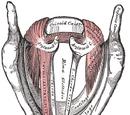 Vocal ligament