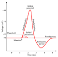 Action-potential.png