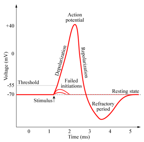 File:Action-potential.png
