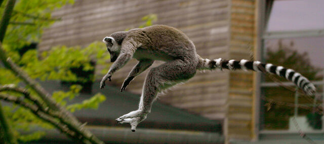 File:Katta (Lemur catta) jumping.jpg