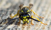 File:Wasp gathering wood.jpg