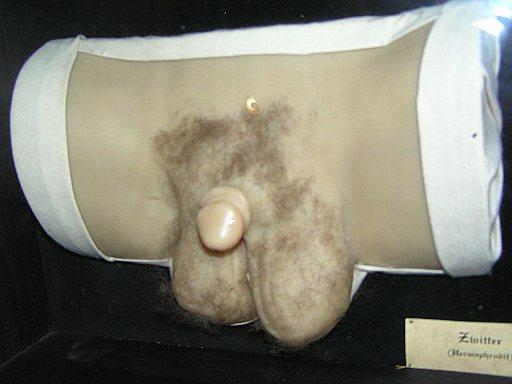 File:Wax human hermaphrodit genital 1.jpg