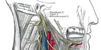 Branch of glossopharyngeal nerve to carotid sinus