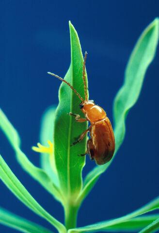 File:Aphthona flava flea beetle.jpg