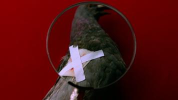 Pigeon 165