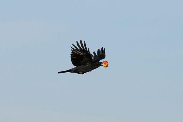 File:Crow apple.jpg