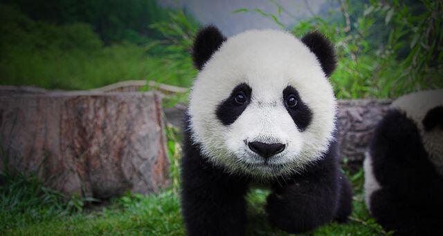 File:Mgrinshpon panda cutiepies.jpg