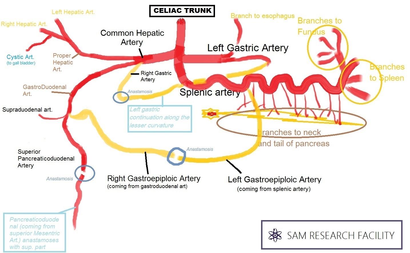 Anatomy Mnemonics Upper Limb