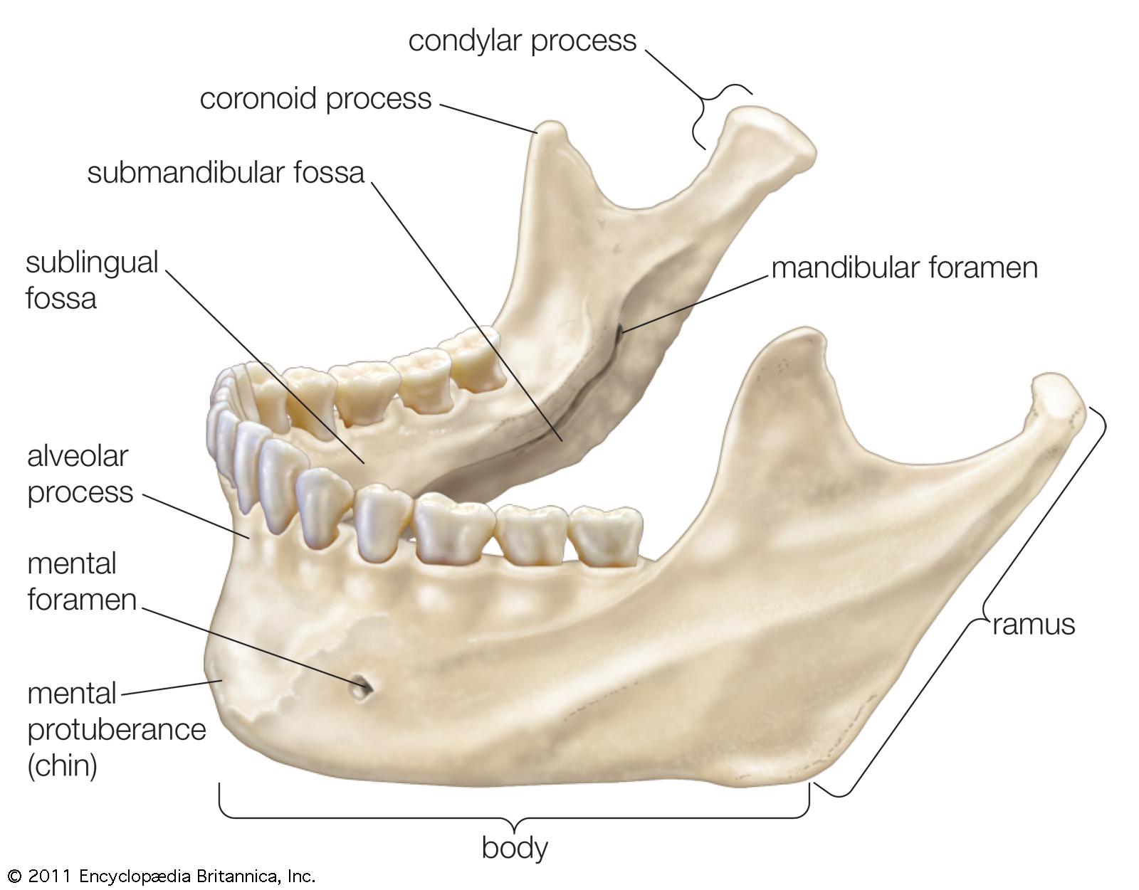 mandibular rami Gallery