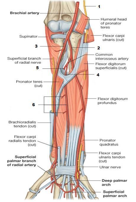 Vascular anatomy of the hand
