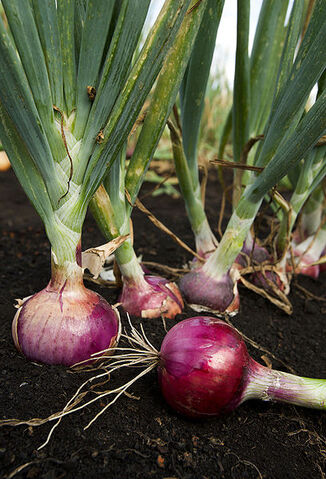 File:Red onion.jpg