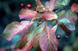 File:Chokecherry.jpg.jpg