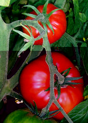 File:Tomatovine.jpg