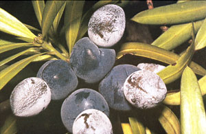 Illawarra plum tree-beale